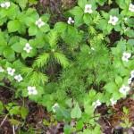 La Généreuse - Fleurs sauvages dans le boisé
