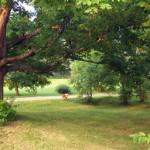 La Généreuse - Érable centenaire à l'entrée de la ferme