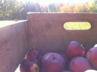 savoureuses pommes bio à vendre à la ferme
